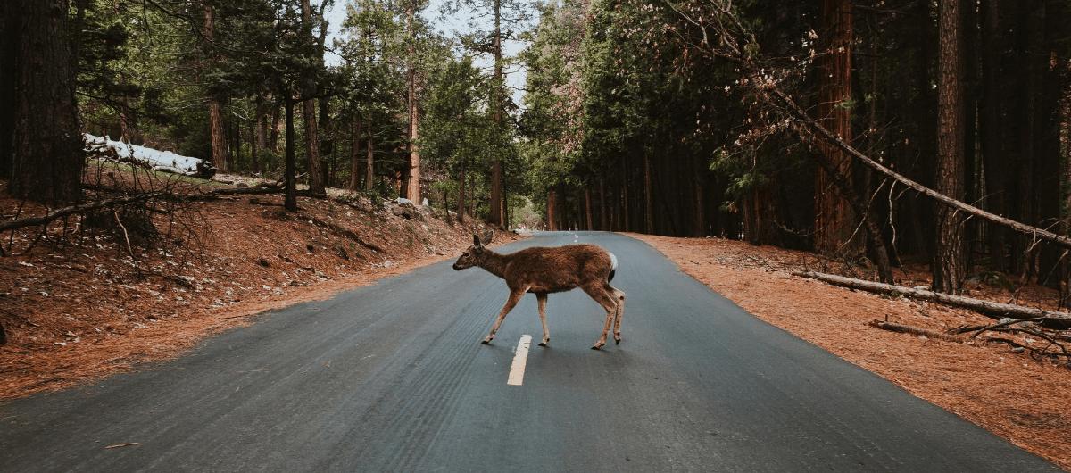 deer walking across forest road